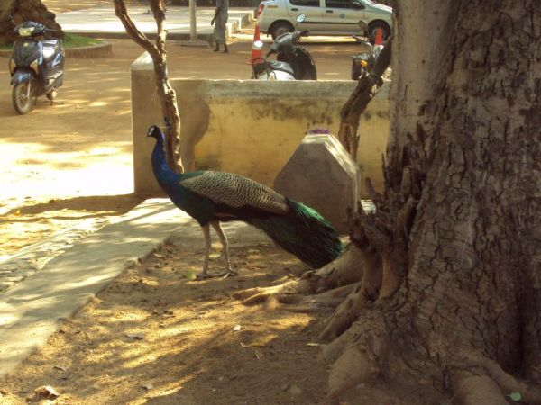 Peacock at asram