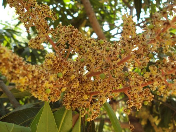 Mango flowers at Balaji temple