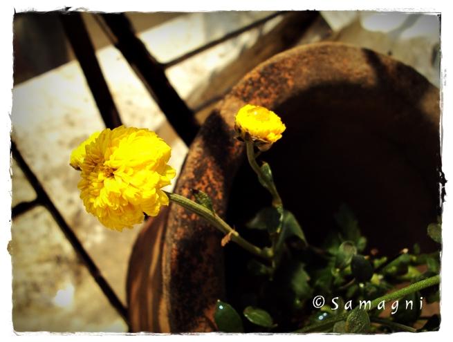 Yellow Jammanthi